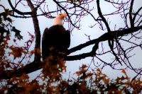 bald eagle richmond virginia